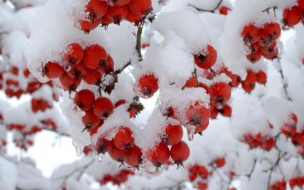 Zima w ogrodzie: jakie rośliny zdobią ogród zimą