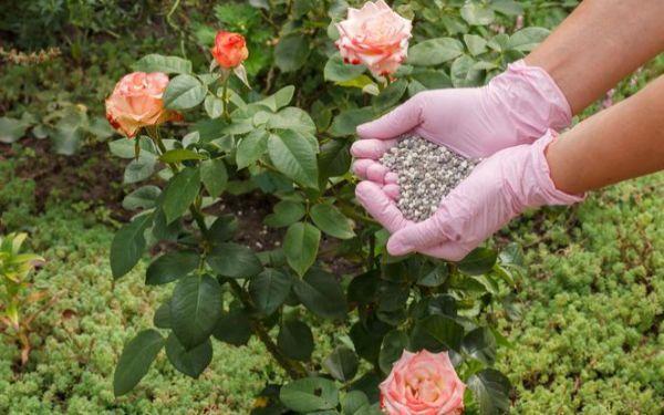 Nawożenie pogłówne roślin