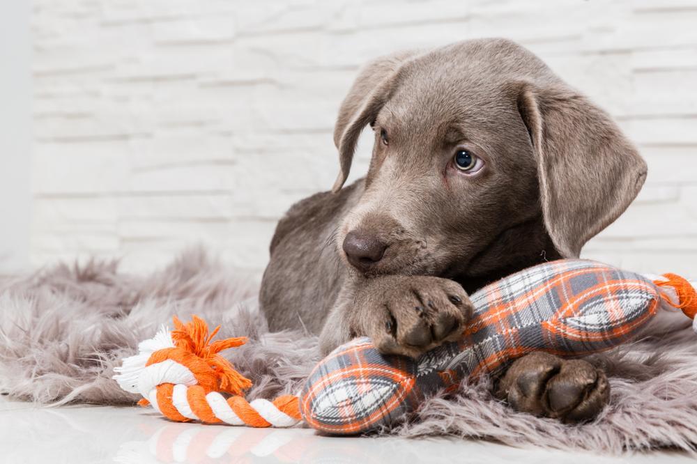 Odrobaczanie psa: czy robaki u psa są groźne dla człowieka?